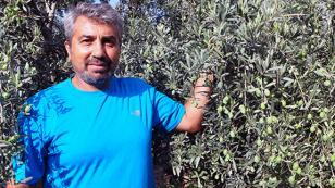 Bir zeytin ağacından 100 kilo verim alıyor!