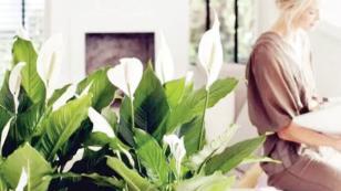 Çiçek yetiştirilen eve hastalık giremiyor!