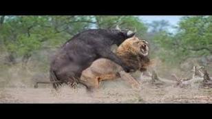Bufalo Aslanı 10 metre Havaya Attı yerden yere vurdu